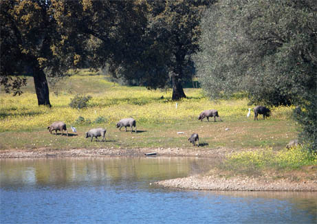 01-surrounding-areas-black-ham-pigs