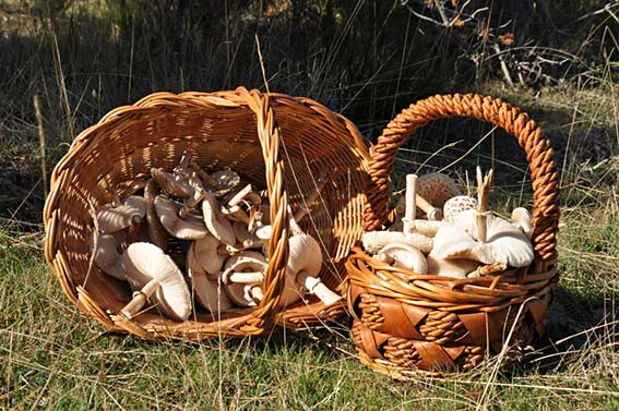 4 3ae sierra norte mushrooms hacienda dos olivos